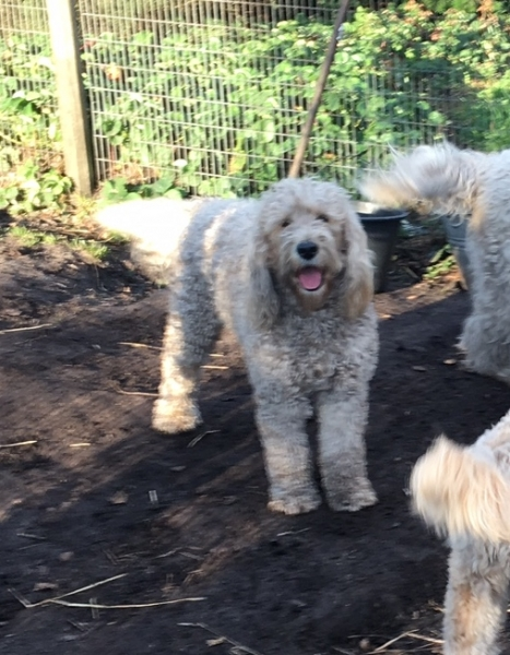 Coco Goldendoodle F1