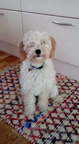 Smilla 1 London og Ozzy, Goldendoodle F1B