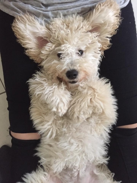 Smilla London og Ozzy, Goldendoodle F1B