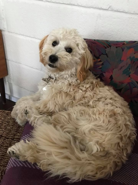Tika fra London og Ozzy 2016 Goldendoodle F1B