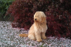 Lucky Goldendoodle F1