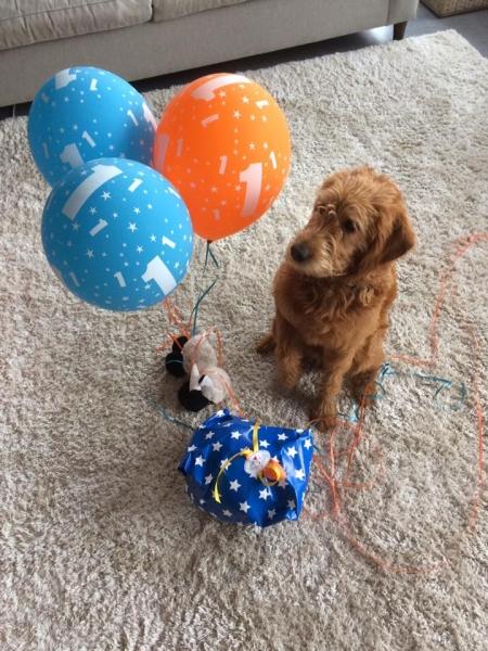 Jimbo fra Joy og Persy. Labradoodle F1 Trimmehund