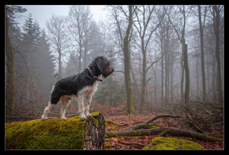 Musen fra Maya og Gismo trimmehund og Labradoodle F1