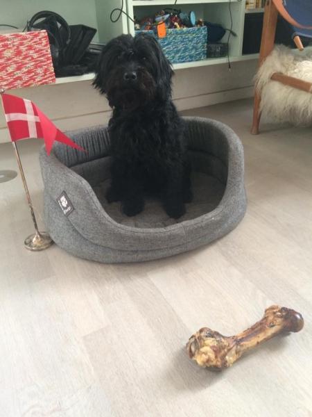 Pixi fra Sally og Persy. Labradoodle F1 Trimmehund