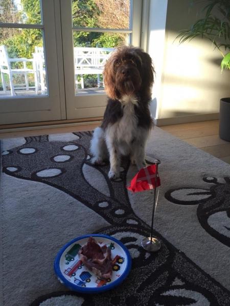 Viggo fra Mata og Gismo Labradoodle F1 Trimmehund