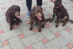 3 Carla og Gismo piger. Trimmehunde Labradoodle F1