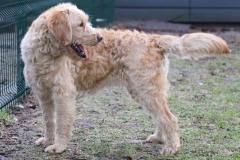 Bellis Trimmehund