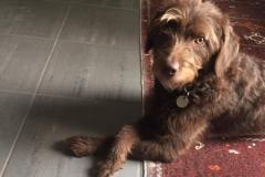Berta carla og Gismo Labradoodle F1 trimmehund