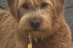 Felix fra Sally og Persy. Trimmehund Labradoodle F1