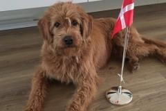 Jens fra Joy og Persy. Labradoodle F1 Trimmehund