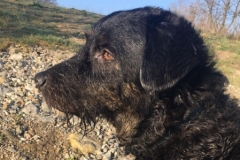 Ludvis fra Carla og Gismo 2015 trimmehund Labradoodle F1
