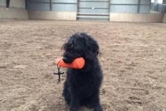 Nova fra Sally og Persy Labradoodle F1 Trimmehund