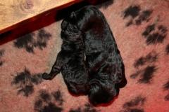 2 sorte hanner 6 dage