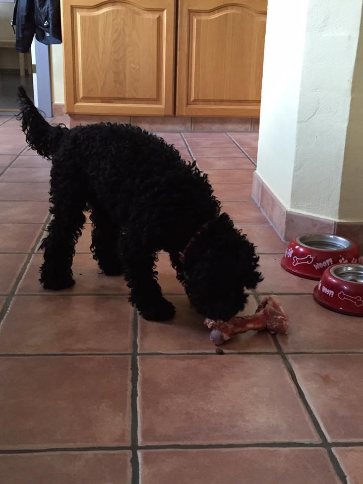 allergivennlig hund cavalier