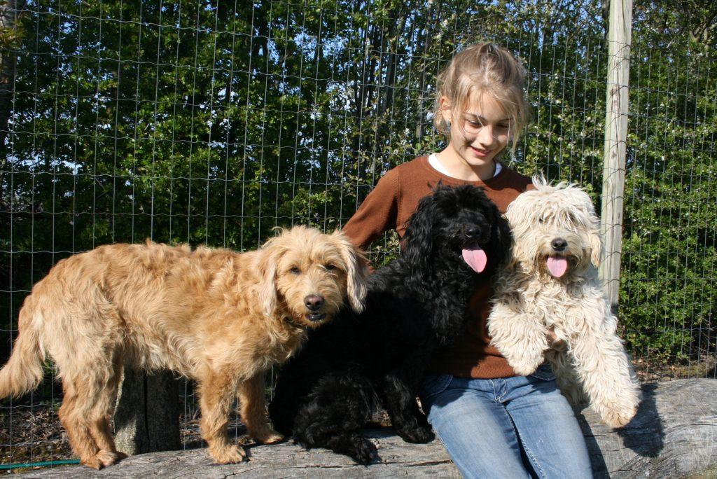 allergivenlig hund goldendoodles