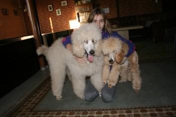 """Curtis til venstre er hvid, på billedet er han dog ret """"naturlig"""" beskidt/beige da han løber og leget med de andre hunde hele dagen."""